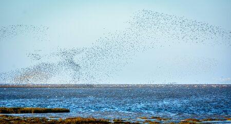 flocking: Birds flocking over the north sea at Snettisham UK Stock Photo