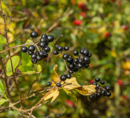 essex: Out in the Essex, English countryside the hedgerow is full of the fruits of summer Stock Photo