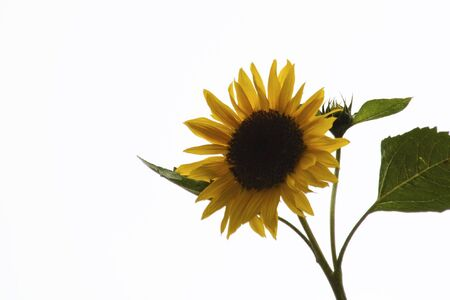 sunflower in white background Stock Photo - 5146796