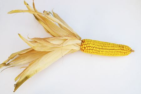 An ear of corn, with the husks still on, but peeled back Stock Photo - 5594201