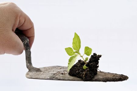 Shovel holding a small plant. Isolated on white background photo