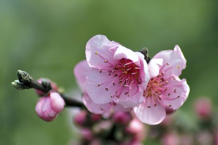Pale pink blossom in bright winter sunlight photo