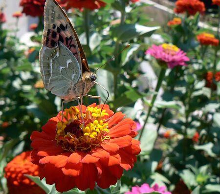 glower: Beautiful butterfly on a flower Stock Photo