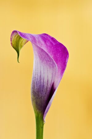 Beautiful calla lily in yellow background with amazing colors photo