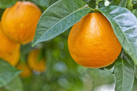 citrus tree: Amazing colors of an orange in the tree