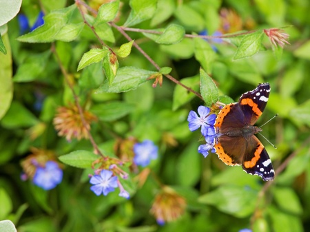 hindwing: A Red Admiral (Vanessa Atalanta) on a periwinkle flower