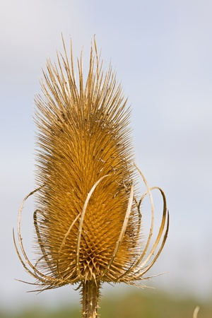 pointy: Common Teasel (Dipsacus Fullonum) in late summer