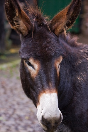 jack ass: Study of a working donkey (equus africanus asinus)