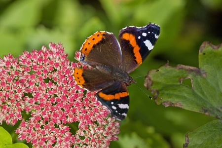 hindwing: A Red Admiral butterfly (Vanessa Atalanta) in late summer