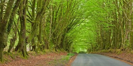 spanned: Road and natural canopy of beech trees  fagus sylvaticus  in Devon UK