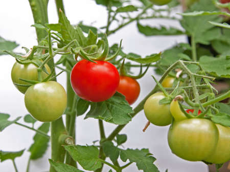 medicinal plant: Ripe tomato on the vine ready for picking