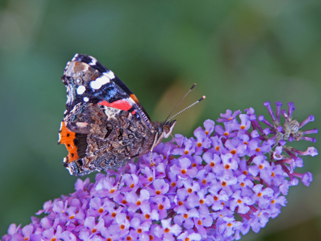 forewing: Red Admiral  Vanessa atalanta  on the flower of a Buddleia davidii plant