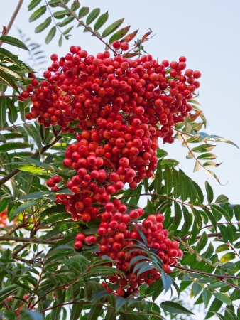 sorbus aucuparia: Berries on a Rowan tree - Sorbus aucuparia -also called Mountain Ash Stock Photo