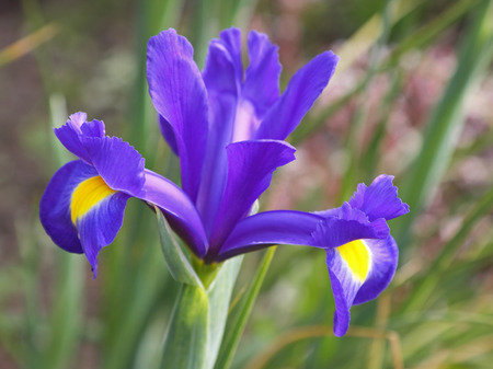 iris flower: Iris flowering ( Blue Magic )