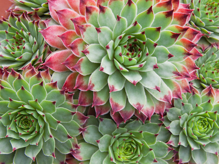 cactus species: Sempervivum Hirtum plant and plantlets