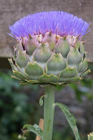 Blooming artichoke flower photo
