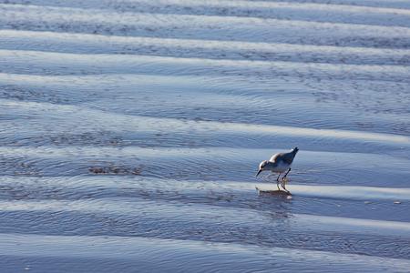 recedes: Sanderling (Calidris alba) on a Devon beach as the tide recedes