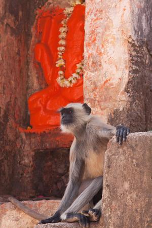 hanuman langur: Langur Semnopithecus entellus or Hanuman monkey at a Hindu shrine at Orchha India