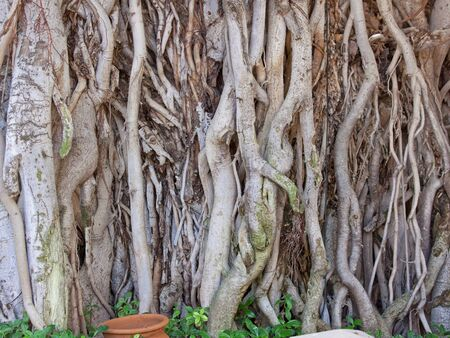 A Banyan Tree Ficus benghalensis at a roadside in Rajasthan India. The native tree is considered sacred in Hinduism Stock Photo