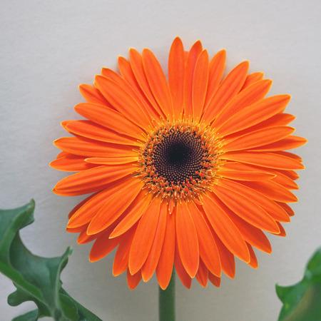 vibrancy: Orange Gerbera flower in bloom