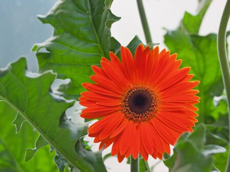 vibrancy: Gerbera flower in full bloom