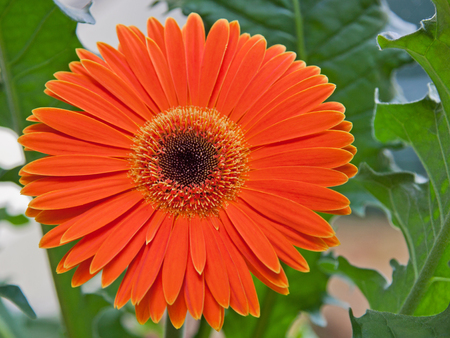 vibrancy: Gerbera flower in bloom