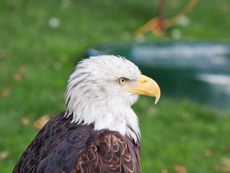 panache: An adult male Bald Eagle  Haliaeetus leucocephalus , the national bird of the USA
