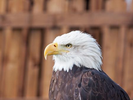 panache: An adult female Bald Eagle  Haliaeetus leucocephalus , the national bird of the USA