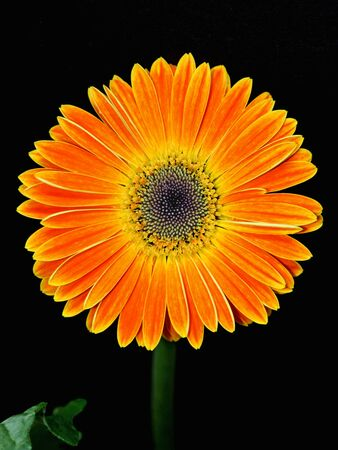 vibrancy: Isolated blooming Gerbera flower Stock Photo