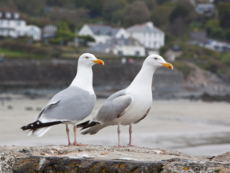 European Herring Gulls (Larus argentatus) perched on a sea wall