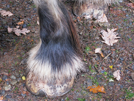 shire horse: Lower leg detail of a Shire horse