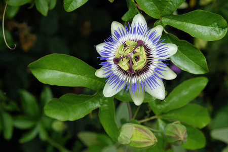 Passion Flower ( Passiflora caerulea )