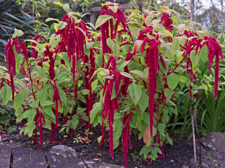 Amaranthus caudatus flowers, known as the Love Lies Bleeding flower Stock Photo