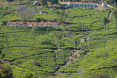 Silver Oak trees ( Grevillea robusta ) dominate the landscape in a tea plantation in Tamil Nadu. The trees are planted to protect the tea bushes by providing shelter and shade from extremes of cold and hot weather