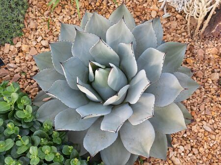 An Agave parryi plant native to the Americas