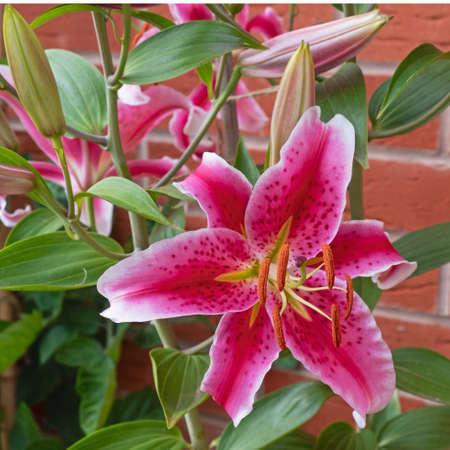 Oriental Lilies ( Lilium ) of the variety Stargazer