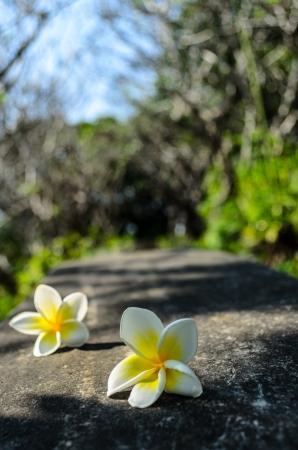 plumerias: The garden way with two colorful plumerias.