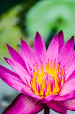 Pinky Purple lotus flower blooming at summer  photo