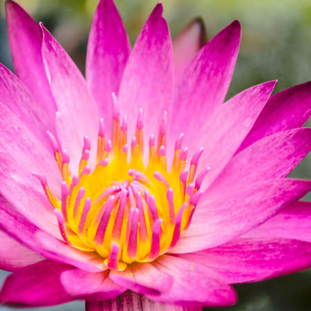 Pinky Purple lotus flower blooming at summer Stock Photo - 16888381