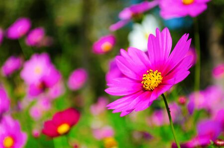 cosmos flowers: Cosmos flowers in blooming with sunset