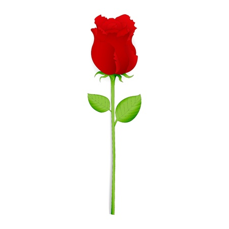 Beautiful red rose, isolated on white  vector  Vector