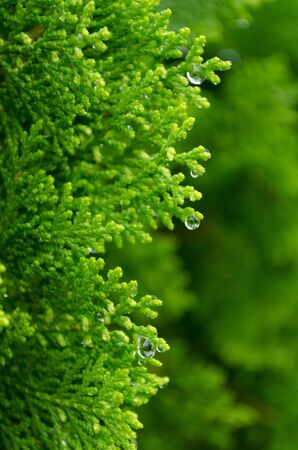 viewfinderchallenge3: Green Thuja orientalis in morning with water drop  Abstract green background