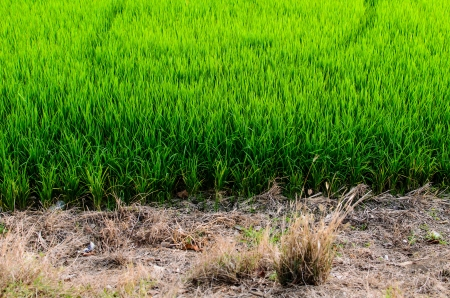 The green rice farm in Thai country photo