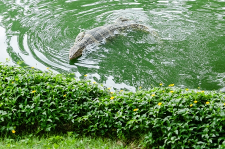 cold blooded: Water monitor swimming in pond, Varanus salvator