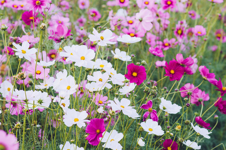Cosmos flowers in blooming in agriculture.