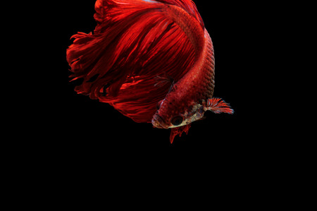 Red betta fish, siamese fighting fish on black background photo