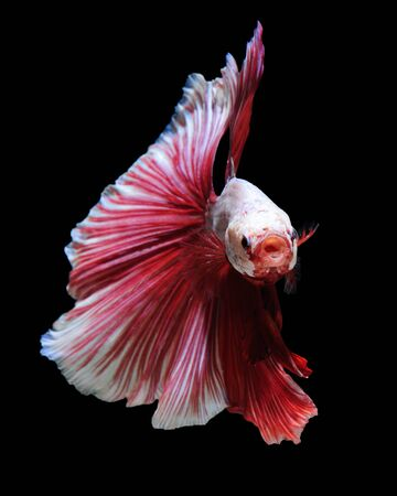 White-red betta fish, siamese fighting fish on black background photo