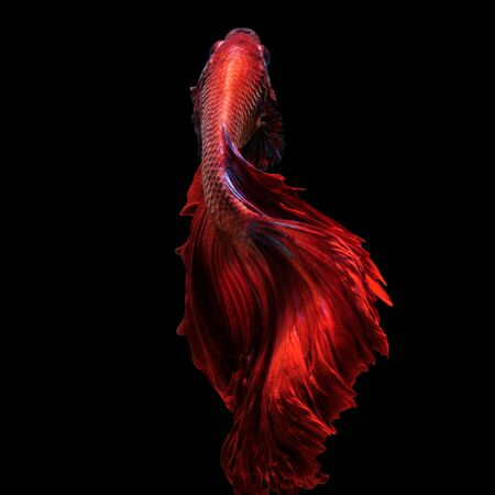 Red betta fish, siamese fighting fish on black background photo