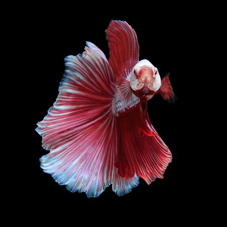 White-red betta fish, siamese fighting fish on black background photo