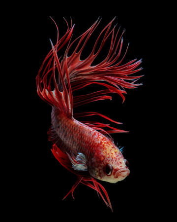 siamese fighting fish: Red crowntail betta fish, siamese fighting fish on black background Stock Photo